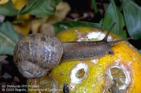 Snail on fruit