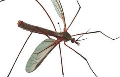 Blood sucking mosquito