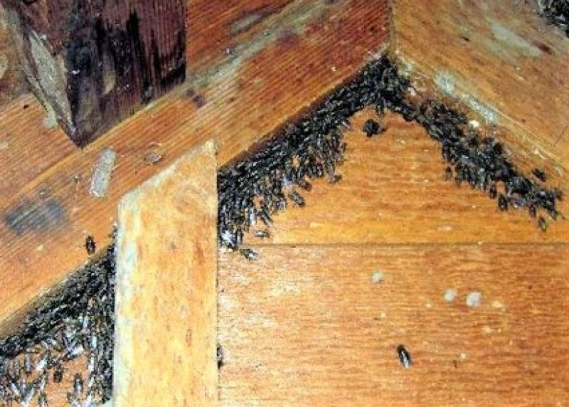 Cluster flies gathering the attic during autumn