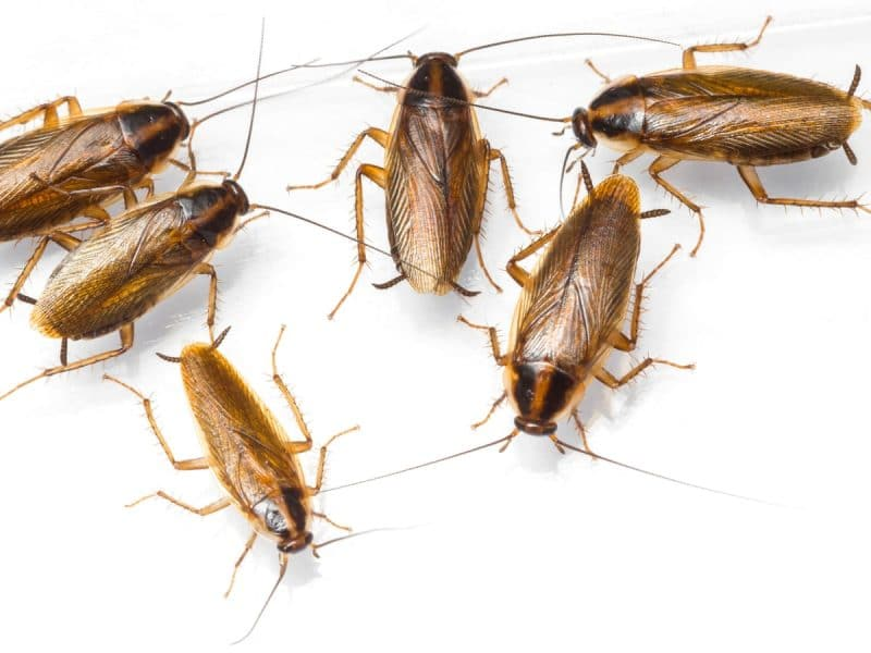 Cockroaches reach areas with the right conditions and abundant food