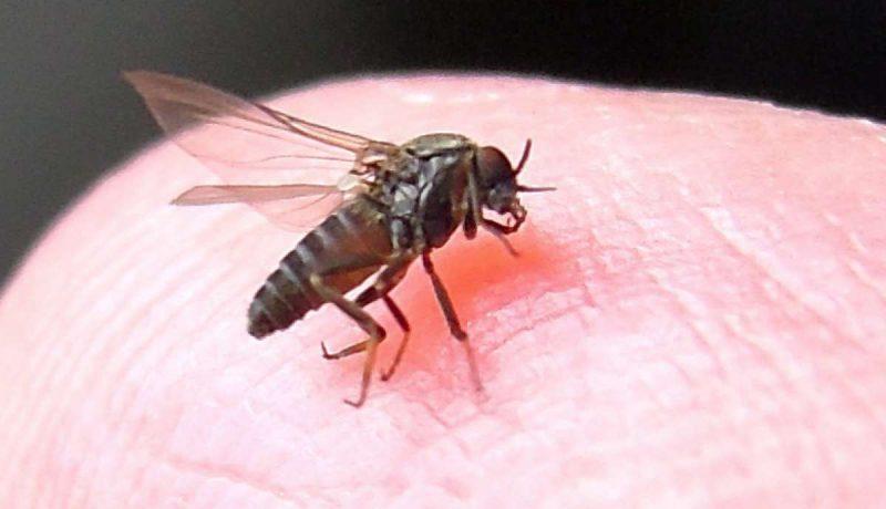 A sand fly feeding