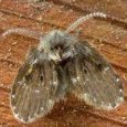 Drain fly on a wooden work surface