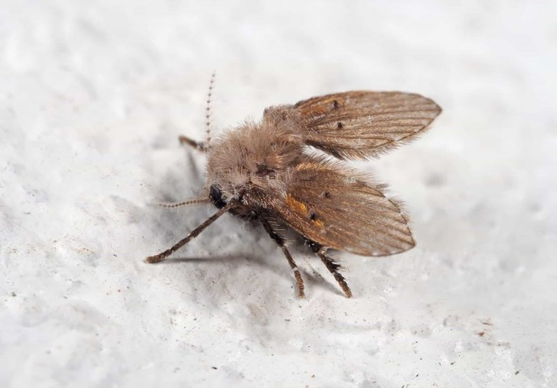 Drain fly by the sink