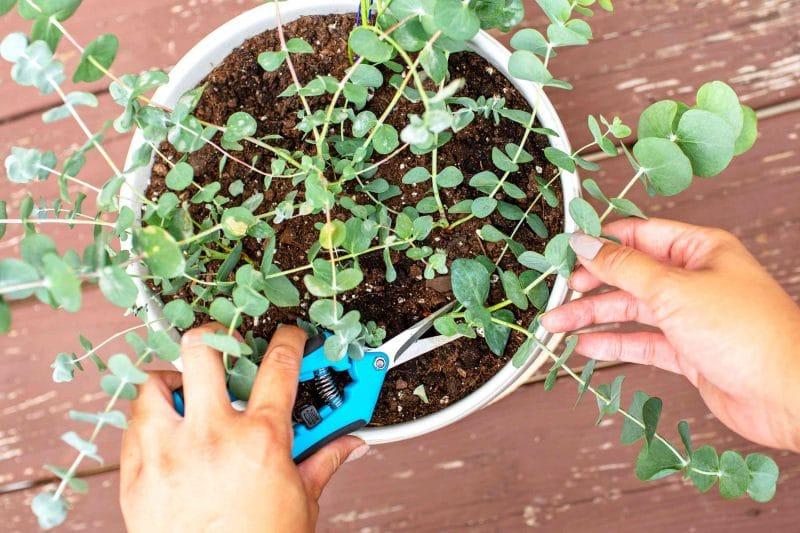 Woman planting a eucalyptus plant