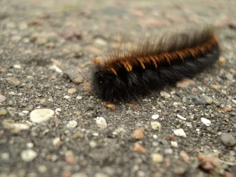 A hairy caterpillar on the move