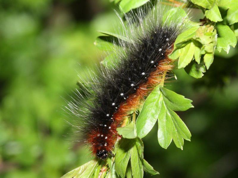 Garden tiger caterpillar in the garden
