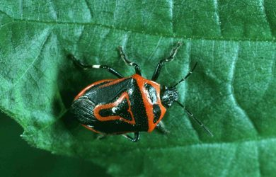 Stink bugs can infest your garden and home