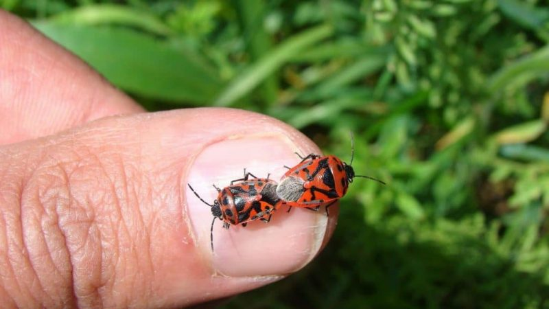 Stink bugs on a finger